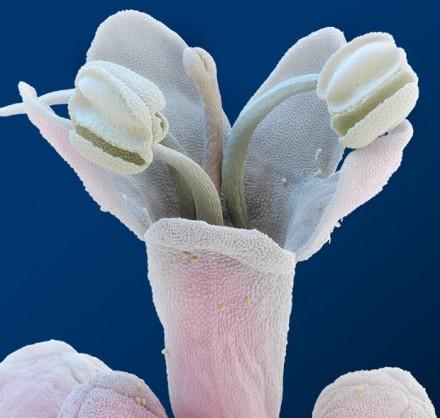 A Valerian Flower